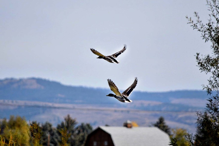 columbia basin guided waterfowl hunts (7)